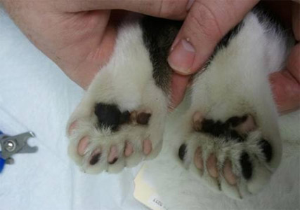Paw Infection From Cat Litter